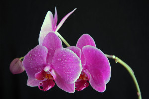 Pink orchid blooms against black background closeup shot.