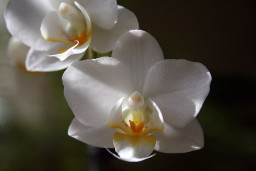 White orchid flowers closeup on dark background