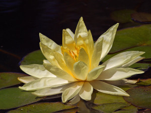 Yellow_waterlily_in_Balboa_Park